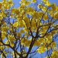 Floração dos ipês deixa ruas de Brasília coloridas